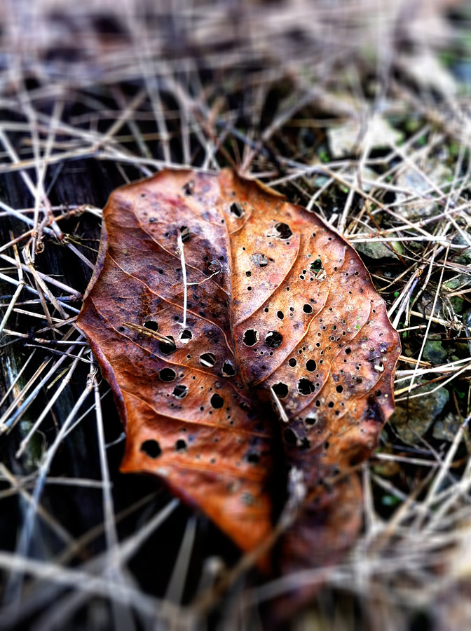 Winter in Tropical Singapore. That was how I felt when I chanced upon this dried leaf on the twigs and weeds.