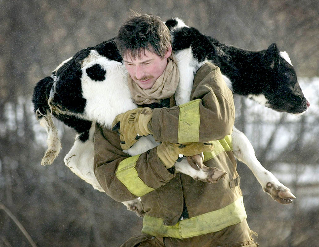 Town of Oneida fireman Terry Hock carries a calf to safety during an early morning fire at the Mark and Neda Ambrosius farm which destroyed the barn and killed most of the two-dozen cattle inside.