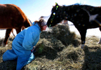 Dee Dee Golberg gets a sniff from a paint pony named Diva, (right) during feeding time at the Spirit Horse Equine Rescue in Janesville, Wis., February 20, 2013. Diva's previous owner could no longer keep the farm and placed Diva with the rescue to ensure the pony had a secure future. The rescue has been hit hard by the soaring costs of hay this winter which have tripled due to drought. In addition, the rescue, as others, have been besieged with requests to take horses and donkeys whose owners cannot keep up with the feed costs.