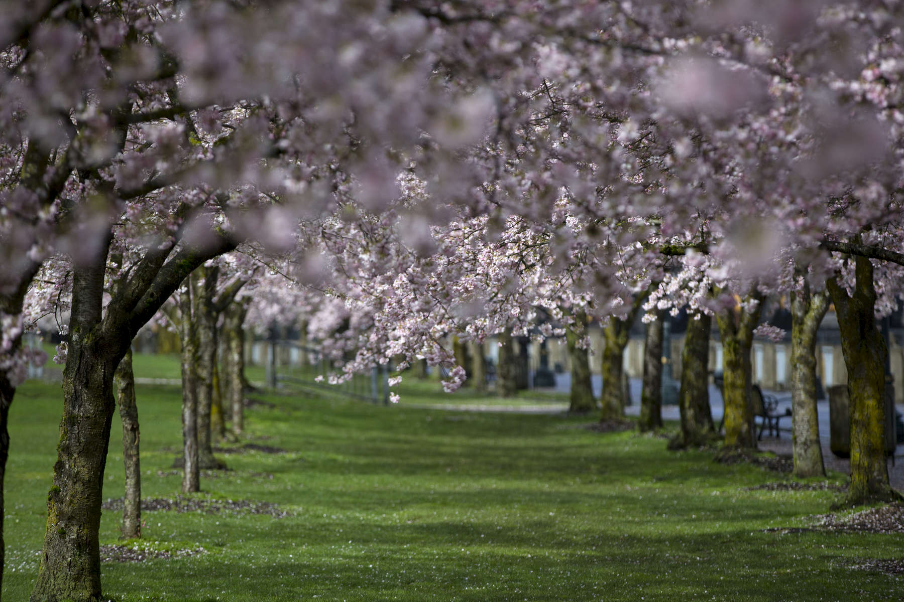 The cherry trees are in full bloom along Portland's Tom McCall Waterfront Park, March 10, 2016.Kristyna Wentz-Graff / Staff