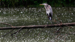 A Great Blue Heron waits out the rain storm atop a log in the Oak Creek Parkway in South Milwaukee.