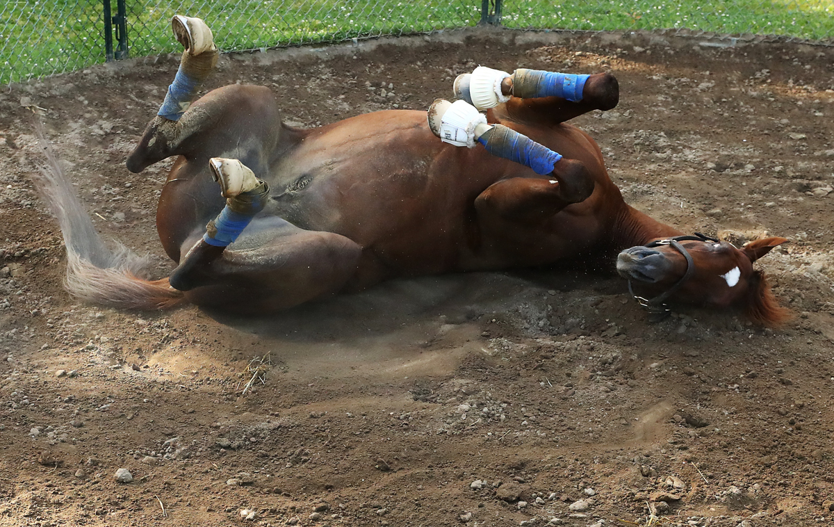 Belmont Stakes contender Irish War Cry rolls in the dirt in his pen after a training session prior to the 149th running of the Belmont Stakes at Belmont Park on June 8, 2017 in Elmont, New York.
