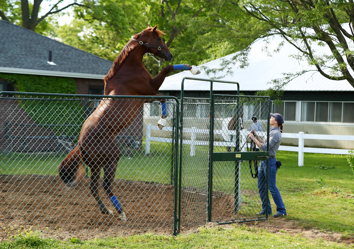 Belmont Stakes contender Irish War Cry rears up in his pen as Assistant Trainor Alice Clapham looks on prior to the 149th running of the Belmont Stakes at Belmont Park on June 8, 2017 in Elmont, New York.