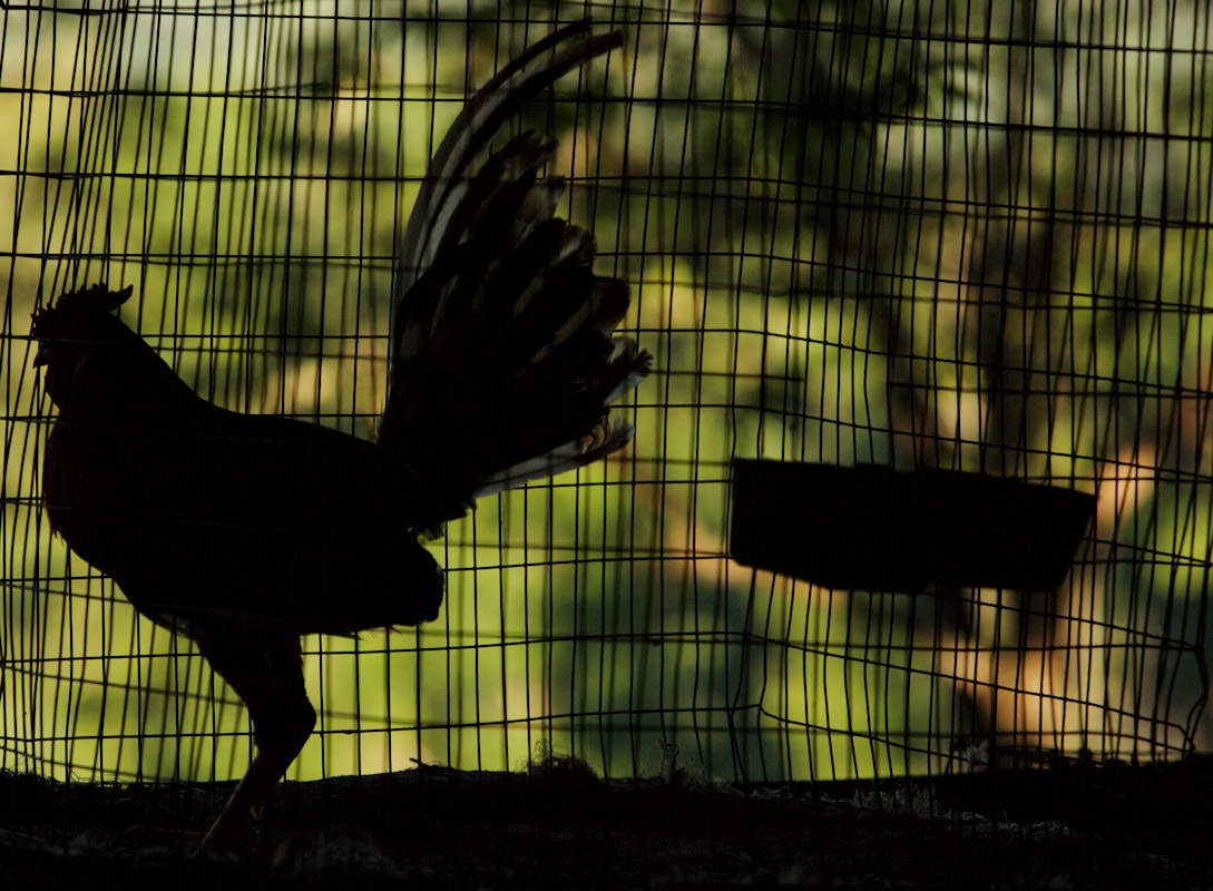 A Sillouette of a fighting rooster in it's cage at the Dora Alta Farm on November 9, 2006 in Toa Alta, Puerto Rico.