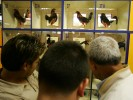 The roosters are on display for the people who gamble on the fights during Cockfighting night at Club Gallistico of Isla Verde on March 14, 2006 in San Juan, Puerto Rico.