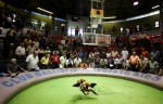 Fans watch two roosters battle during Cockfighting night at Club Gallistico of Isla Verde on March 11, 2006 in San Juan, Puerto Rico.