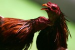 Two roosters battle during Cockfighting night at Club Gallistico of Isla Verde on March 11, 2006 in San Juan, Puerto Rico.