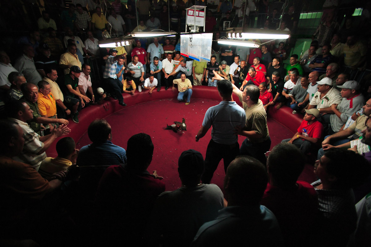 Spectators cheer on the Fighting Roosters on opening night of the Cockfighting season at the Coliseo Central De Barranquitas on November 11, 2006 in Barranquitas, Puerto Rico. Heavy betting between the fans are made before and during the fights. Most of the time multiple bets are made by one person of up to several thousand dollars. all bets are paid off in cash at the end of each fight.