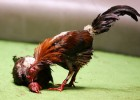 A fighting rooster pecks on the head of a dead fighting Rooster after winning his battle during Cockfighting night at Club Gallistico of Isla Verde on March 11, 2006 in San Juan, Puerto Rico.
