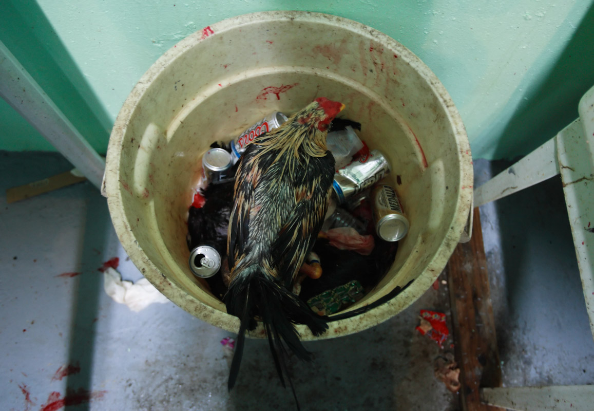 A garbage pail filled with empty beer cans and dead Fighting Roosters is topped off with a stranded rooster after losing their fight on opening night of the Cockfighting season at the Coliseo Central De Barranquitas on November 11, 2006 in Barranquitas, Puerto Rico.