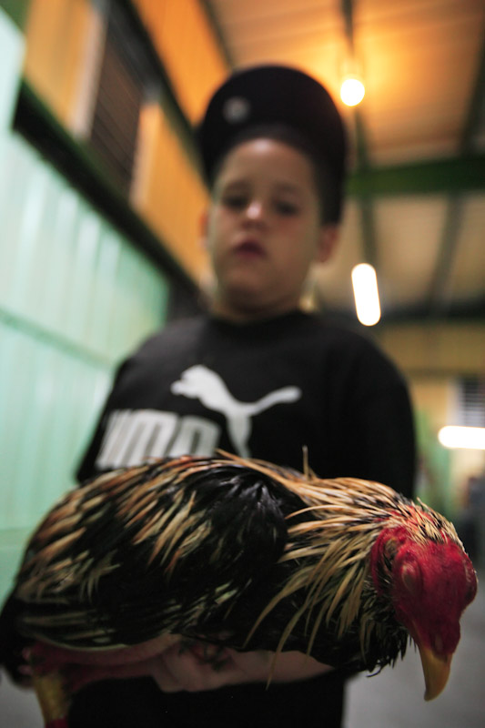 A young boy holds his Fighting Rooster as it quivers in his arms after losing it's fight and it's sight on opening night of the Cockfighting season at the Coliseo Central De Barranquitas on November 11, 2006 in Barranquitas, Puerto Rico.