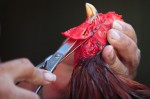 A fighting rooster has it's Beard cut off by Trainer and owner Rene Rodriguez at the Rodriguez Brothers Farm on November 10, 2006 in Aibonito, Puerto Rico. The reason for cutting off the rooster's Beard, according to Rodriguez, is to improve its visibility, balance, and reflexes during a cockfight.