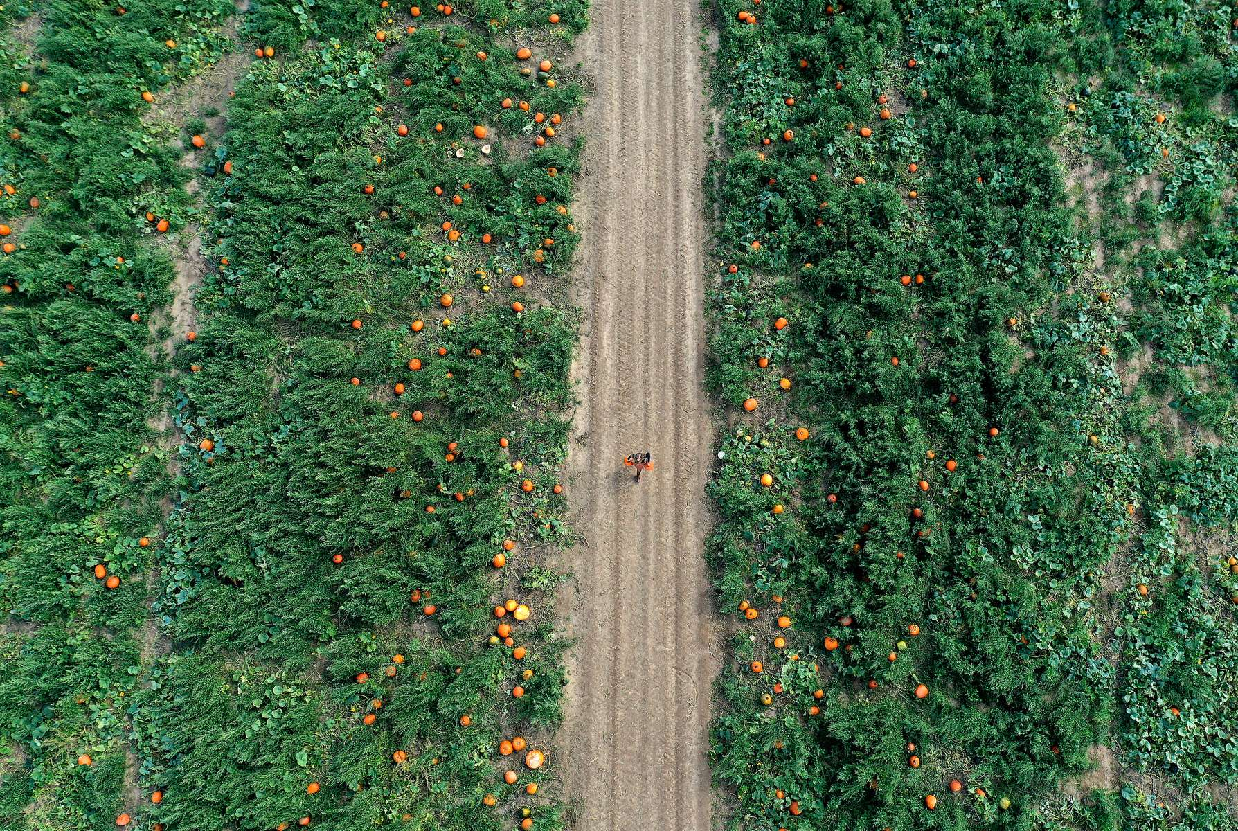 An aerial view of a person picking pumpkins at Harbes Family Farm on October 06, 2020 in Mattituck, New York.
