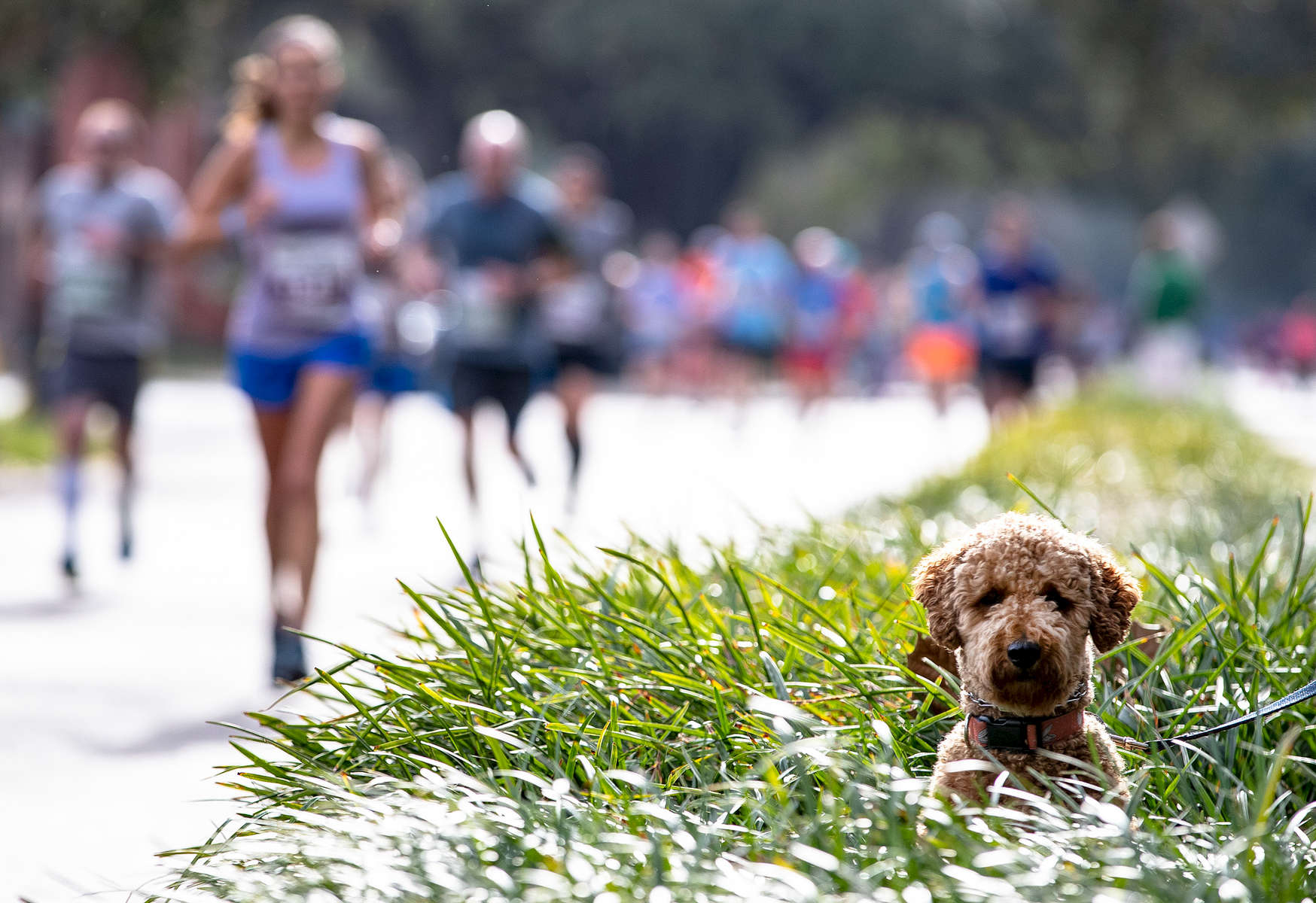 A dog looks on as runners compete during the Humana Rock 'n' Roll Marathon on February 10, 2019 in New Orleans, Louisiana