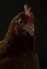 chickenportraits01