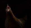 chickenportraits06