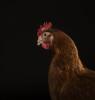chickenportraits08