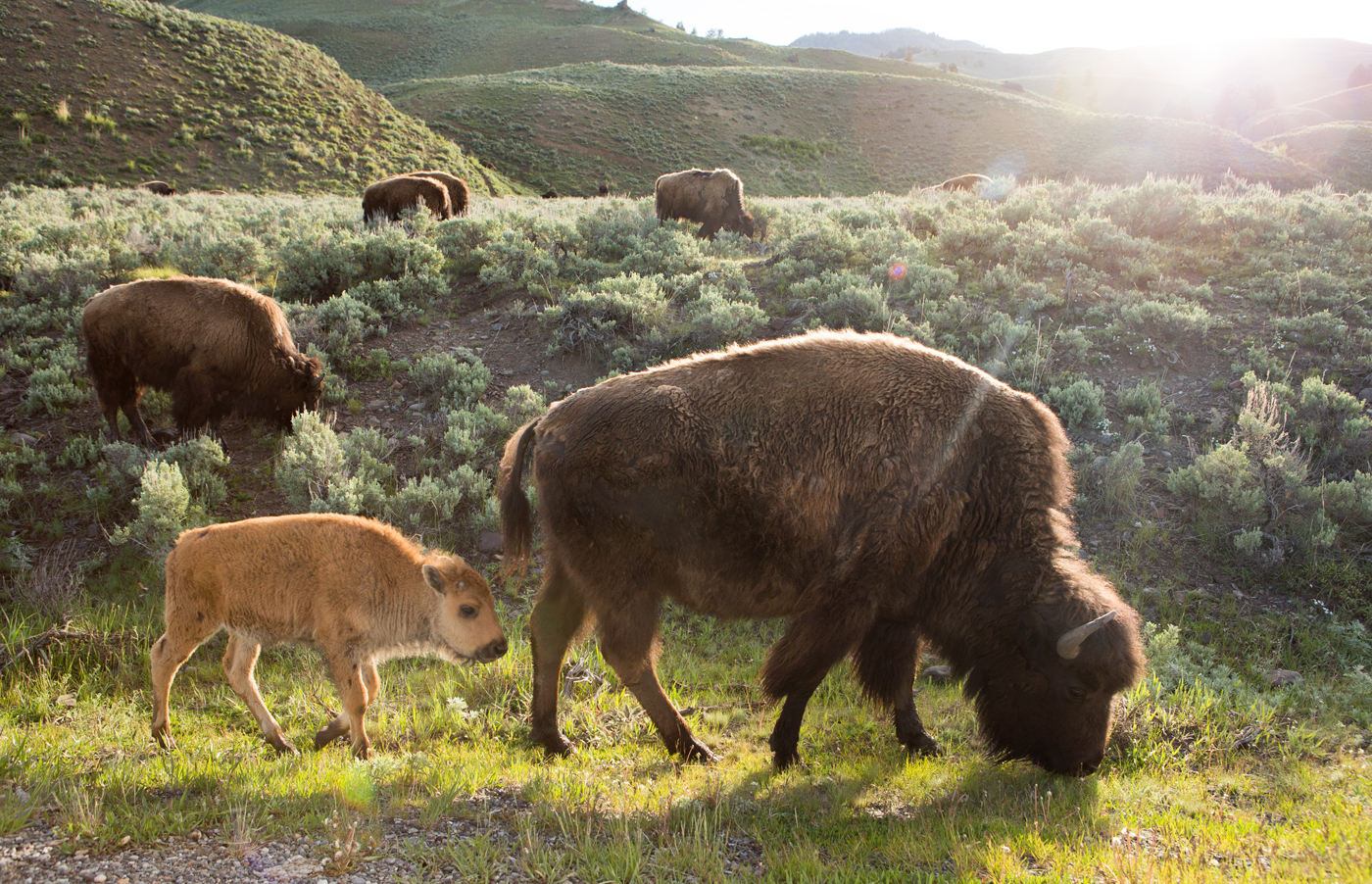 Yellowstone National Park, 2016, bison, buffalo