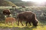 Yellowstone National Park, 2016, bison, buffalo
