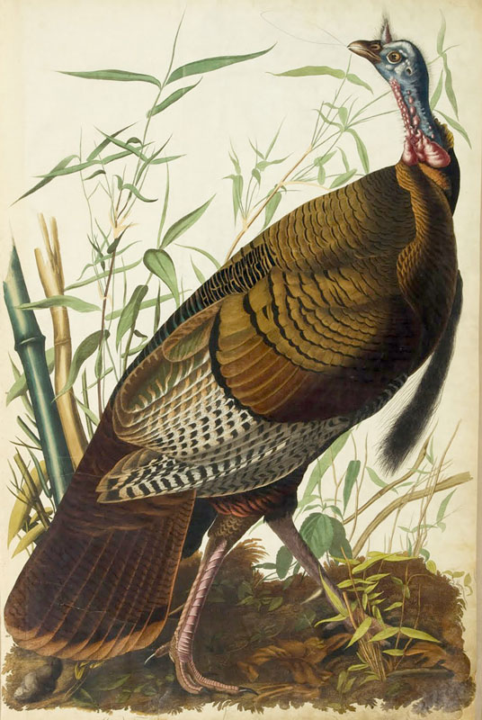 Audubon_Turkey