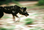 Painted_Dogs10