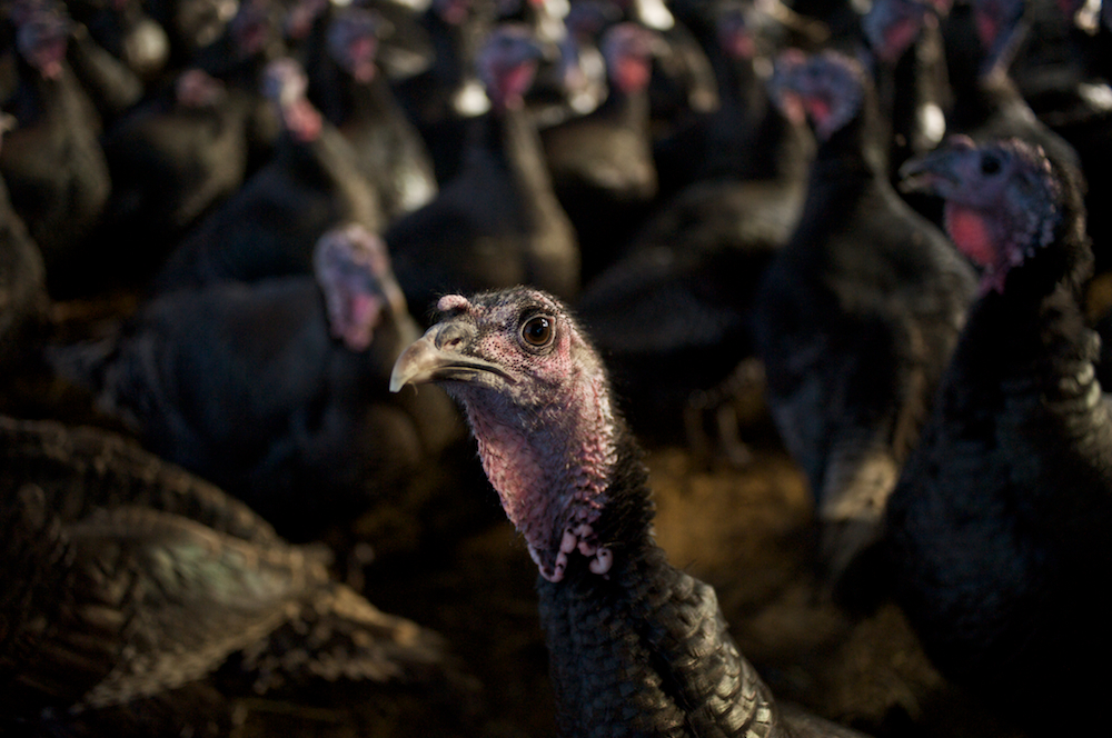 turkeylurkey_3DSC_37022010-12-06