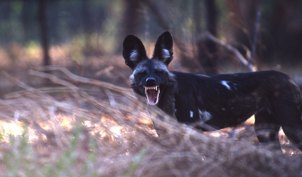 wildlife_1_8Laughing_Dog2003-03-31