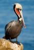 Pelicano moreno, Alcatraz moreno