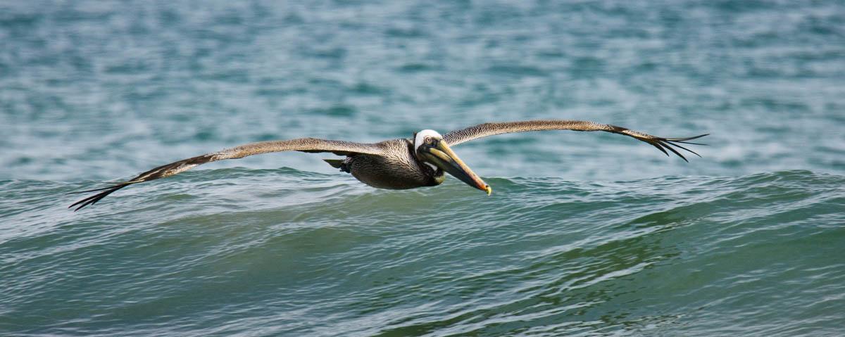 Pelicano morenoSan Juanico