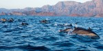Common Dolphins