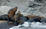 Sea Lions Isla Coronado