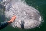 Young Gray Whale San Ignacio Lagoon