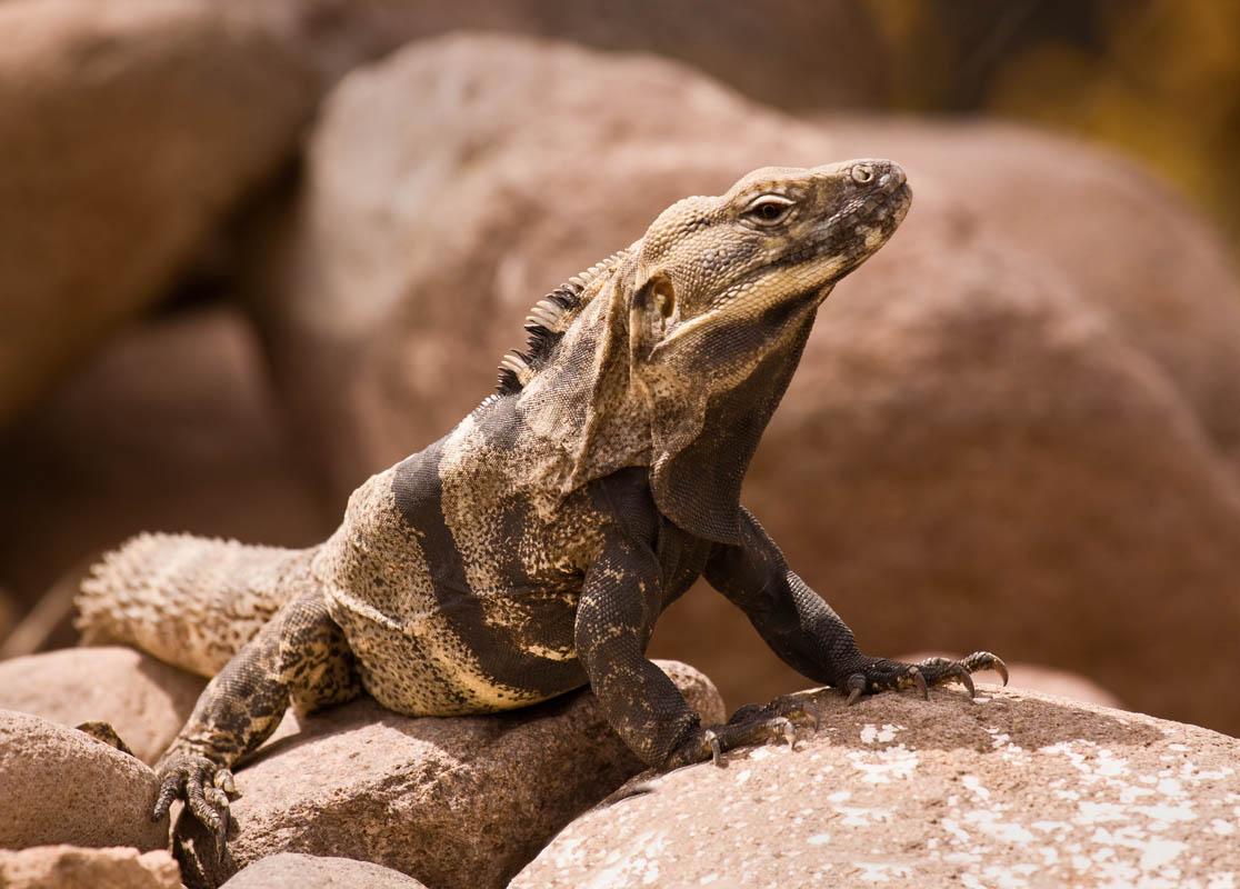 Iguana at San Javier