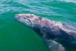 Mama Gray Whale