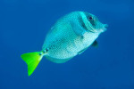 Yellow-tail Surgeonfish