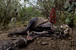 The International Fund for Animal Welfare published a study into the illegal wildlife trade in June 2013 which calculated that an elephant dies to poaching every 15 minutes. The National Academy of Science published a report in August 2014 citing that 100,000 elephants have been killed over the last three years. Some elephants are shot, while others are poisoned with arrows or pieces of metal. This one was poisoned.