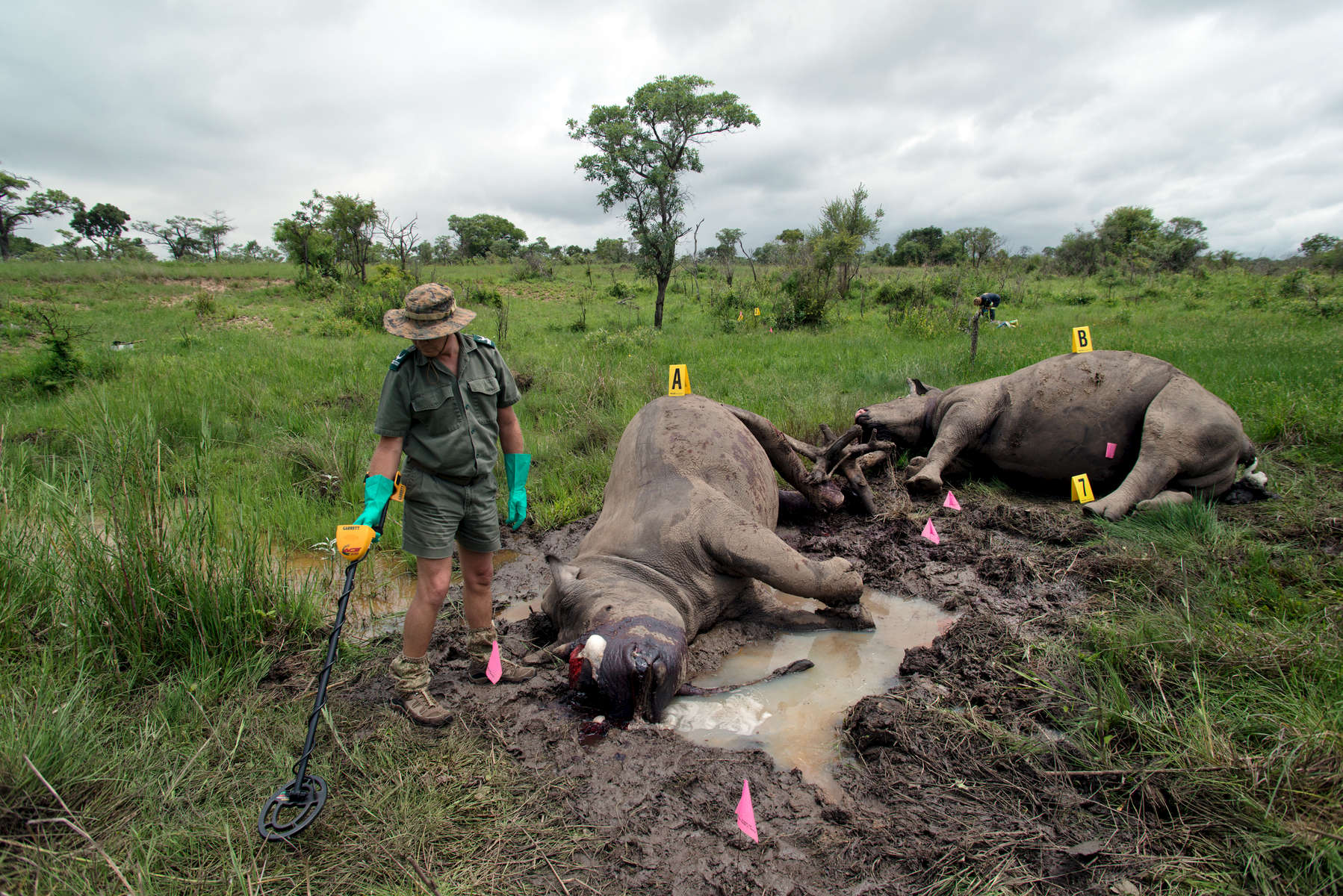 An onslaught of rhino poaching at Kruger National Park has left South African National Parks with a backlog of cases. The park's forensics team inspects a crime scene 10km from the park's edge, looking for the bullets that killed the rhinos along with any other evidence. The culprit's are believed to be South African nationals and are part of a gang that have killed several rhinos, always taking only one--the larger-horn. Two rhinos were shot and killed- a male and female near a drinking hole. The female was thought to be pregnant, which is why she was accompanied by a male.