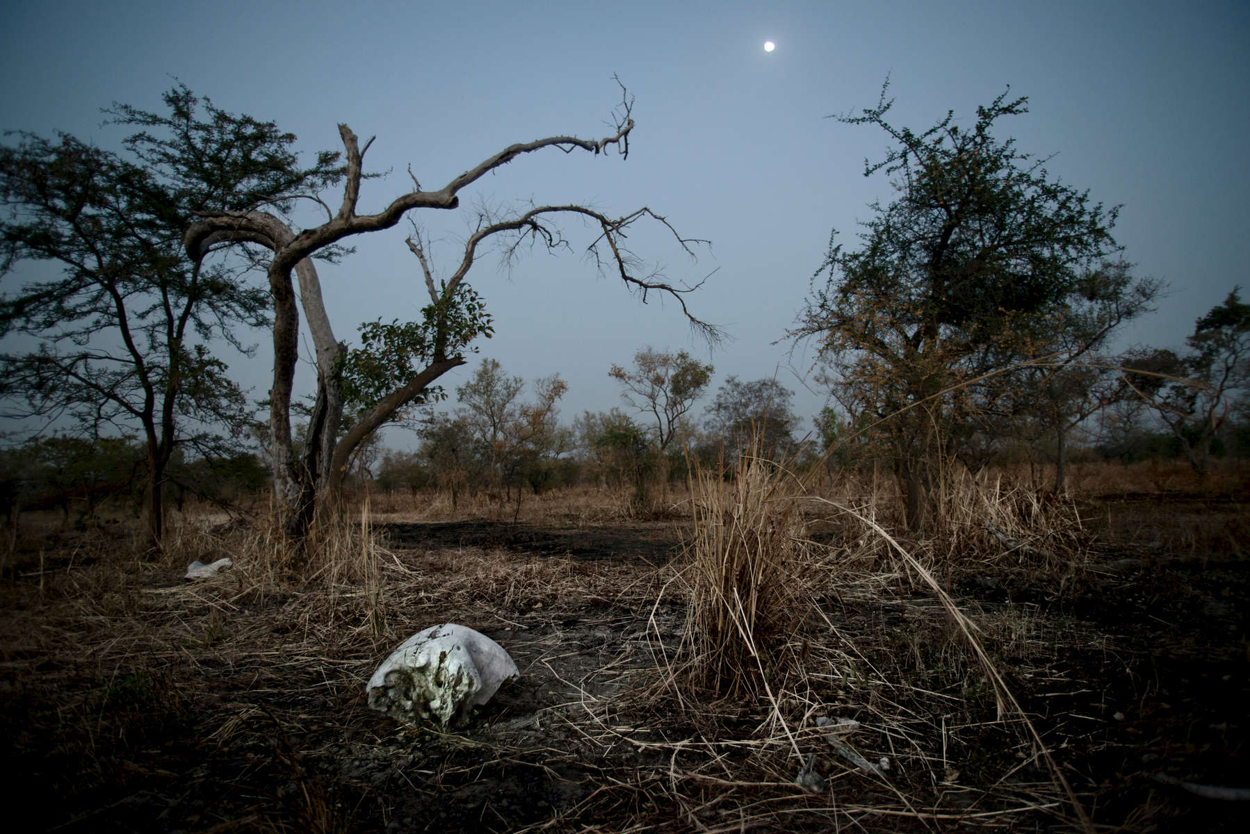 In March 2013 86 elephants, several of whom were pregnant, were reported to have been killed by poachers in Chad close to the border of Cameroon. Elephant bones are scattered across the massacre site.