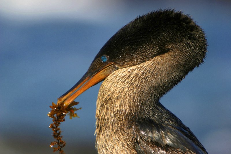 Easy foraging and a lack of enemies resulted in the Flightless Cormorant's evolutionary and unique inability to fly.