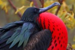 The Great Frigatebird. This male displays its resplendent scarlet pouch to attract a mate.