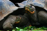 The Galapagos Tortoise is a 400 kilo (850 pound) herbivore with a life expectency between 100 and 150 years.