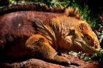 The Galapagos Land Iguana, weighing as much as twenty-five pounds, dines largely on prickly-pear cactus.