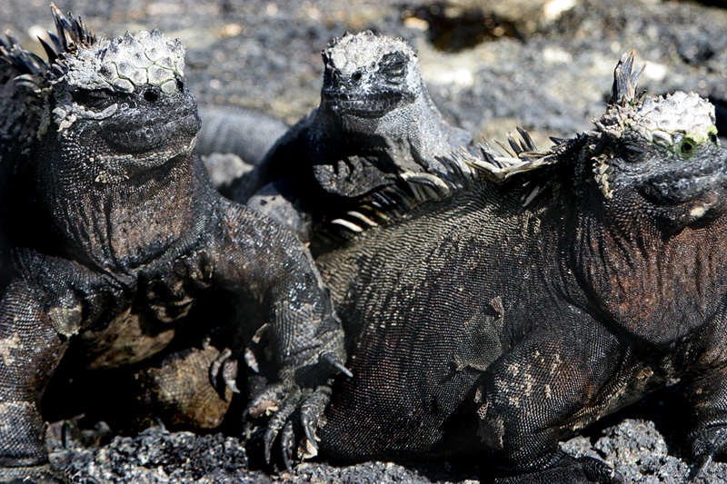 Marine Iguanas evolved into swimmers, but spend the majority of each day warming themselves in the sun.