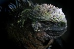 Galapagos Marine Iguana. The only lizard at home in the sea. The marine iguana dicharges excess salt ingested while eating through its snout.