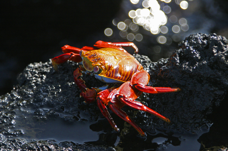 A Sally Lightfoot Crab presents a colorful contrast to the black lava rocks along Galapagos shorelines.