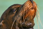 Galapagos Sea Lions. Male and females have whiskers and an external ear-like flap.