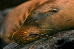 A sea lion snoozing. In the Galapagos snorkelers experience these quick and agile swimmers in close proximity.