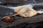 SeaLion_Pup_Sow