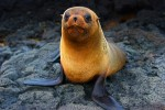 A Galapagos Sea Lion pup with its new adult coat.