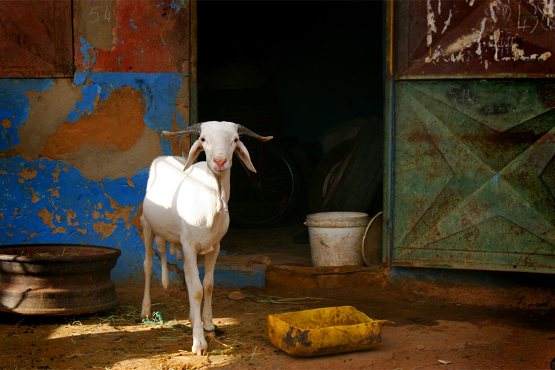 A tire repair shop along the road near Ndioum proved to be a graphic backdrop for this sheep.